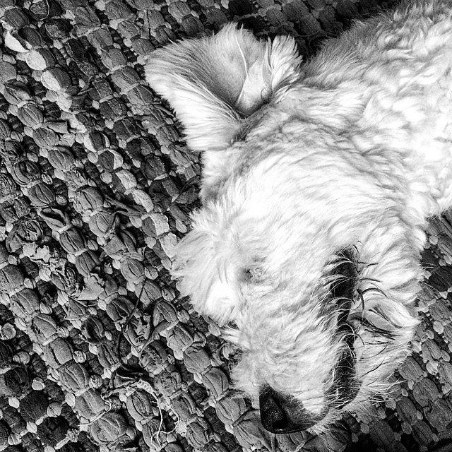 Zzzz. #Natch #OldEnglishSheep #Bobtail #Dog #MyDog #Life